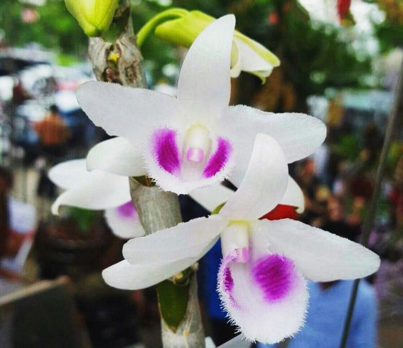 hoa lan đột biến 5 cánh trắng