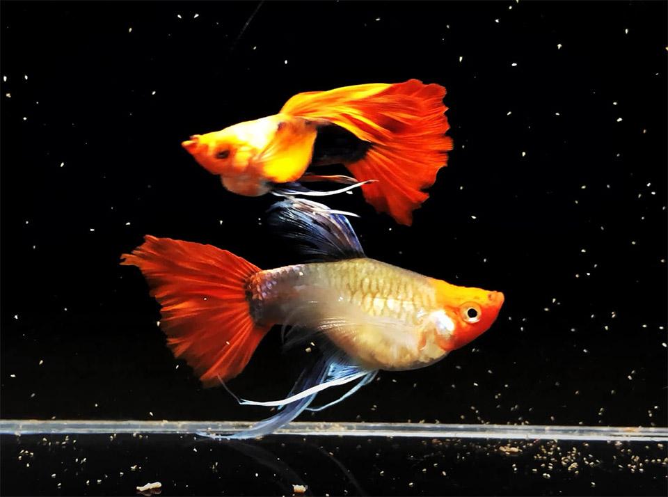 cá 7 màu koi tphcm
