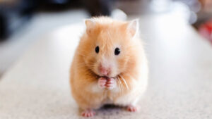 chuột hamster cute tphcm